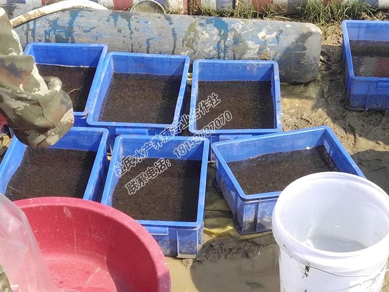发货湖南长沙30亩黑斑蛙青蛙蝌蚪苗