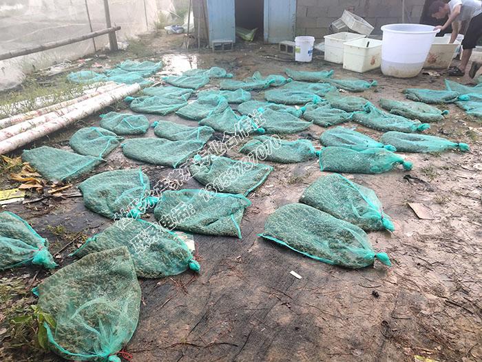 发往江西南昌1500斤黑斑蛙幼蛙正在打包