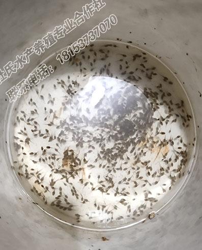 黑斑蛙绿豆蝌蚪苗