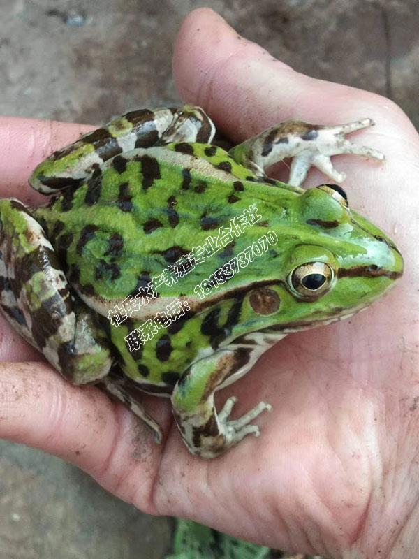 全饲料黑斑蛙养殖,优质黑斑蛙种蛙