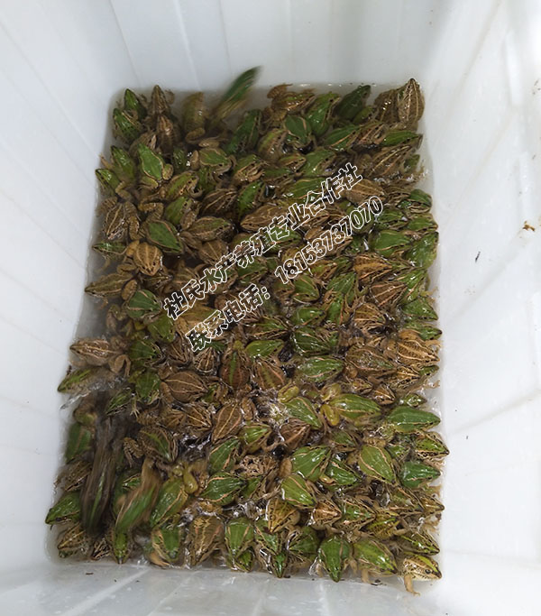 黑斑蛙商品蛙价格 长期供应大规格商品蛙