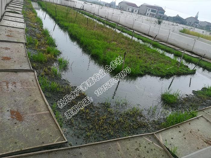 黑斑蛙青蛙养殖场基地建设,哪里的黑斑蛙养殖厂家好请认准杜氏黑斑蛙养殖基地