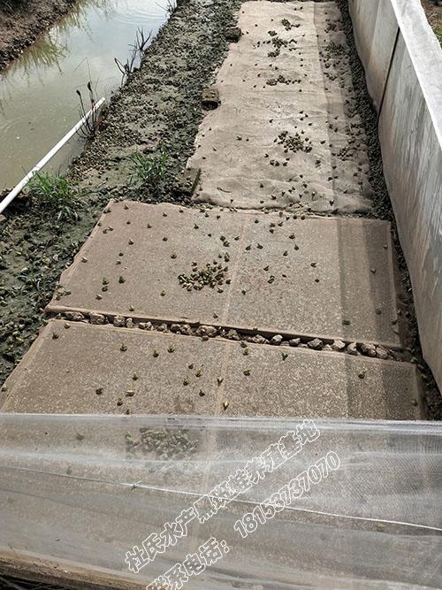 一斤240个左右的黑斑蛙小幼蛙