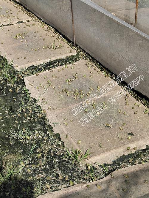 一斤100多个的成型黑斑蛙青蛙幼蛙种苗